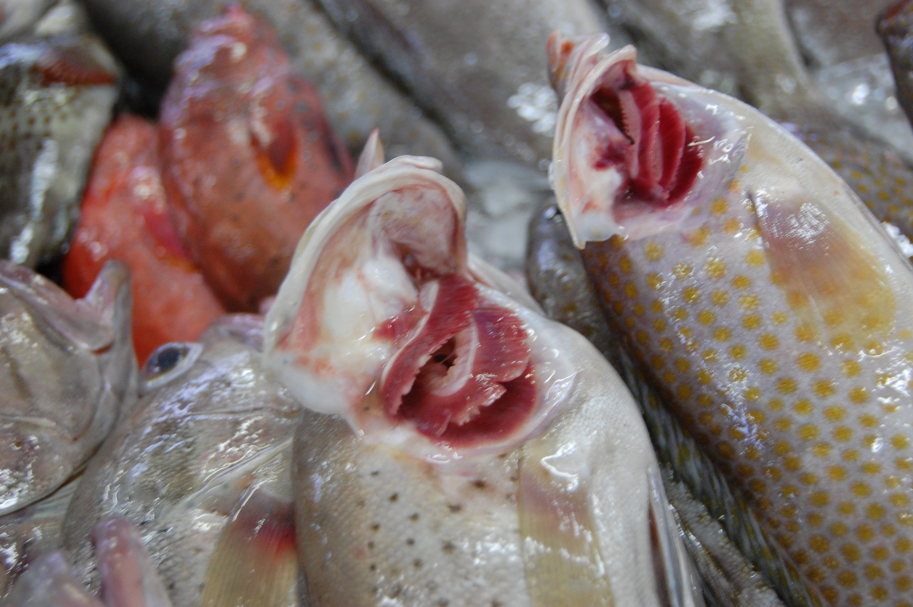 Tips and tales from the fish market part 2 world supper for Do all fish have gills